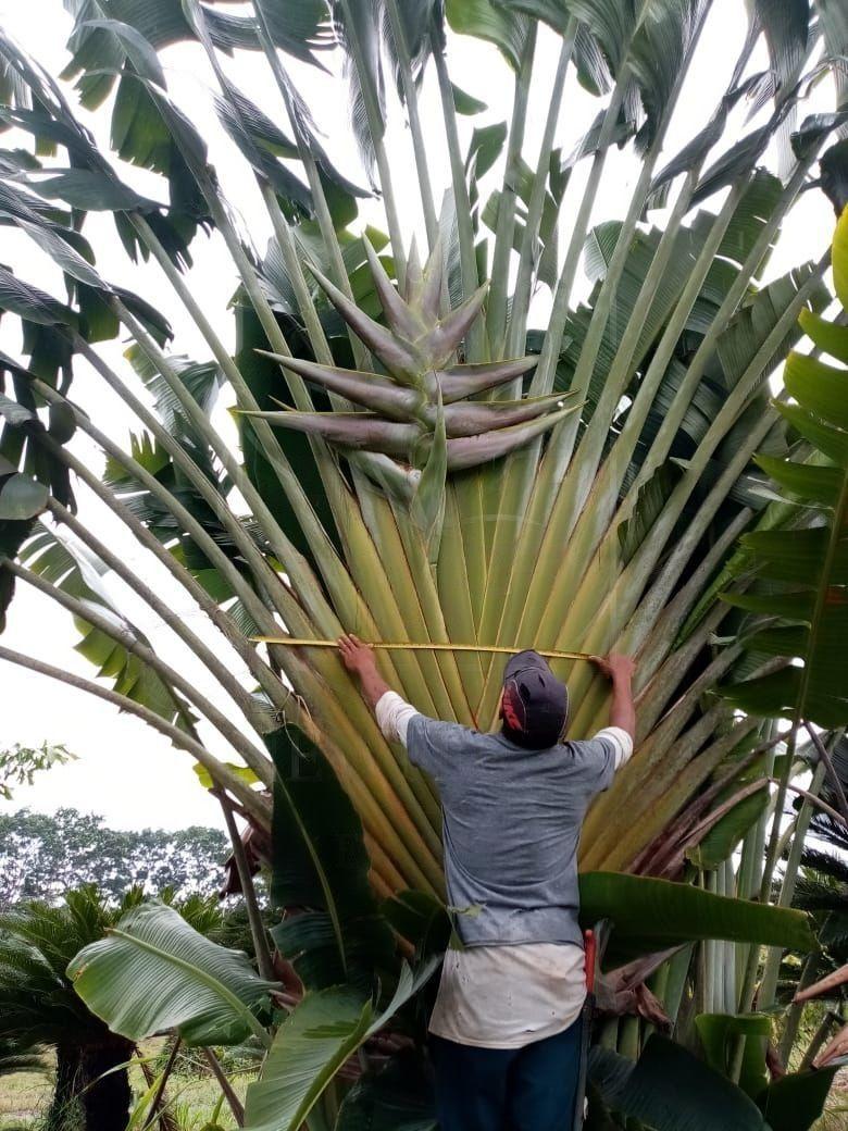Геликония «Heliconia giant green» 150-170см (огромное тропическое растение)