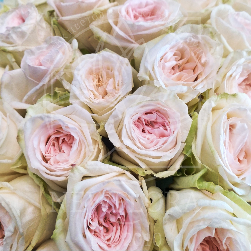 Букет 101 пионовидная ароматная роза Вайт Охара (White Ohara)
