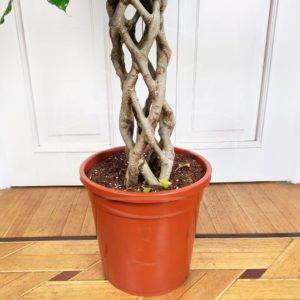 Фикус бенджамина переплетенный гигант высотой 130см в горшке (Ficus benjamina exotica twist)
