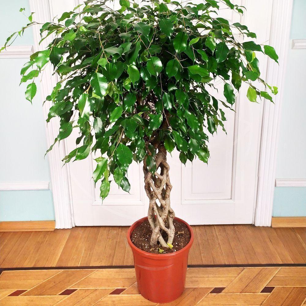 понимала, комнатное растение фикус бенджамина уход фото цвет
