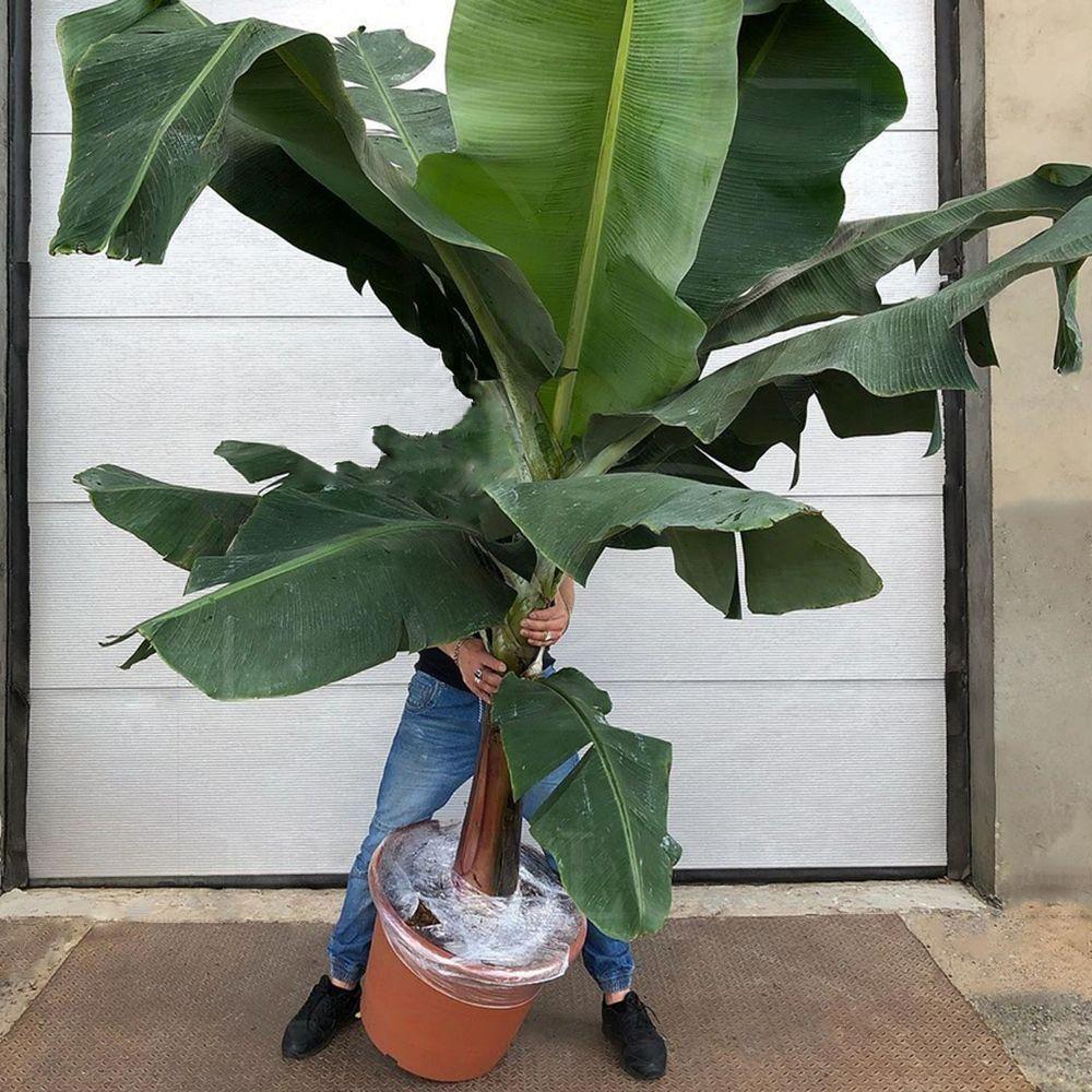 жильцов многоквартирных банановое дерево комнатное фото проведения цветокоррекции этим