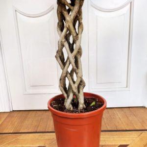 Фикус бенджамина переплетенный гигант высотой 150см в горшке (Ficus benjamina exotica twist)