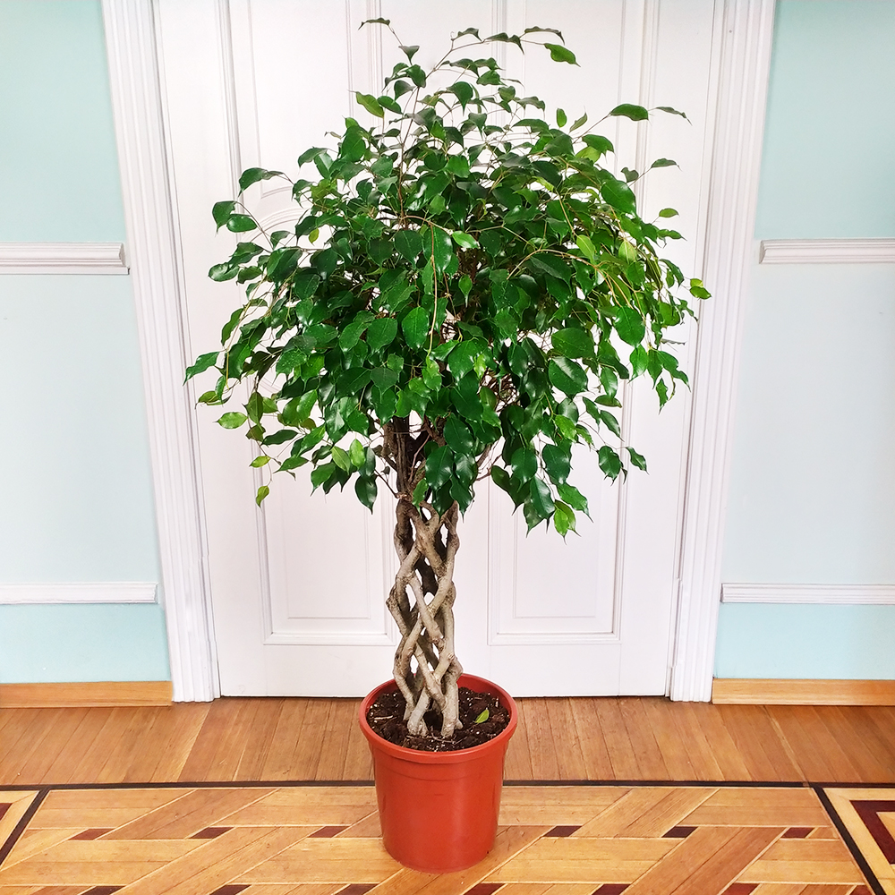 Фикус Бенджамина (лат. Ficus benjamina)