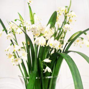 Букет из 19 белоцветников (гигантский подснежник)