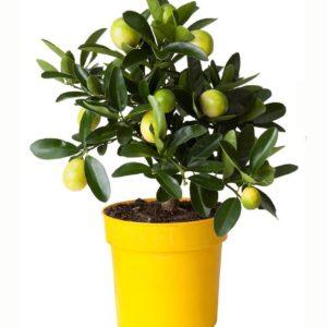 Лимонное дерево в горшке (профилактика коронавируса)