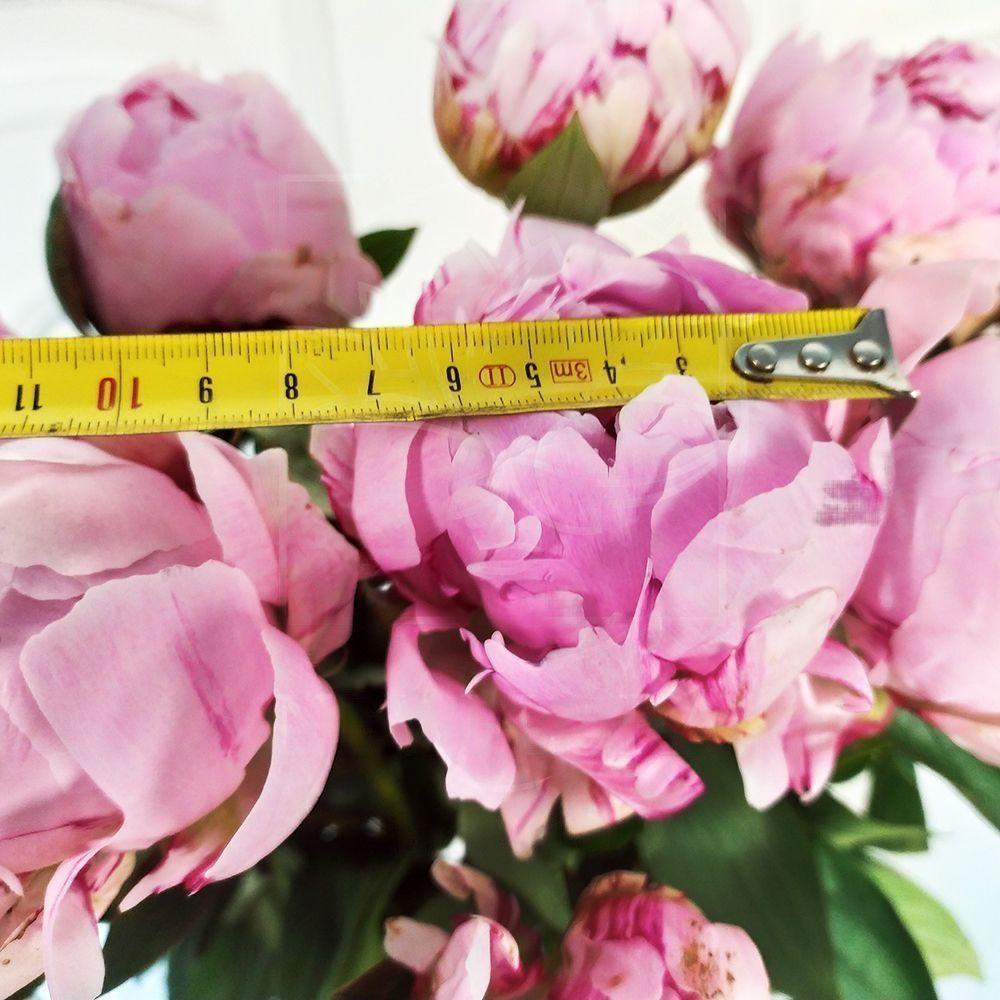 Букет 19 крупных розовых пионов