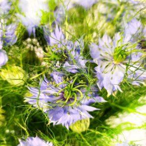 Букет 19 нигелла синяя (Dam Blue)