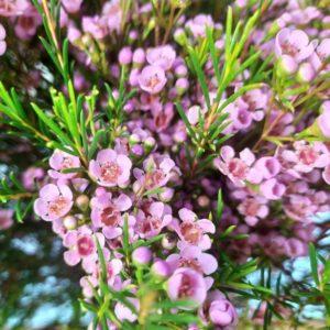 Букет 25 ваксфлауэр розовый (хамелациум)