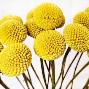 Краспедия желтая свежая 70-80см (поштучно)