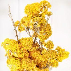 Гелиптерум желтый «Helipterum Sanfordi» (сухоцвет)