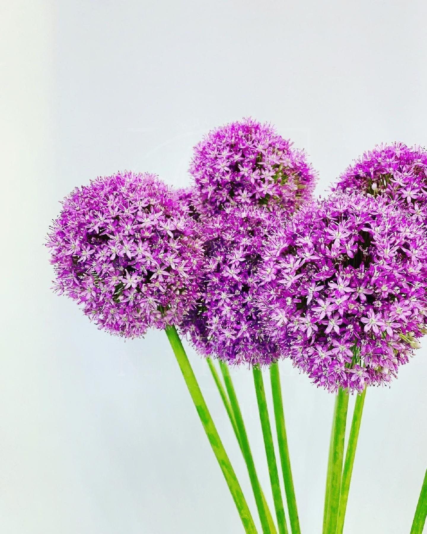 Фиолетовый аллиум 80-90см (поштучно)