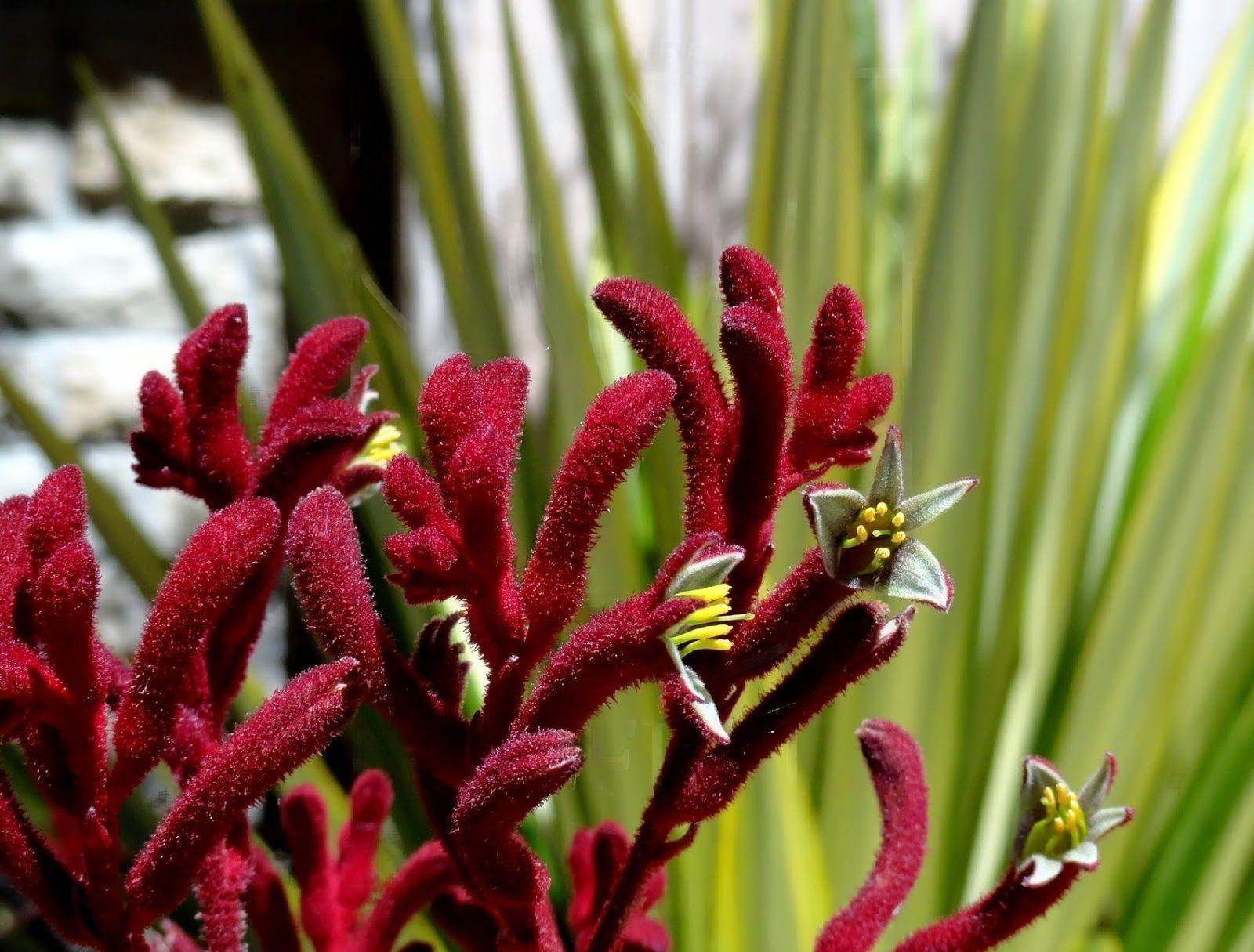 Анигозантос красный 60-70см (поштучно)