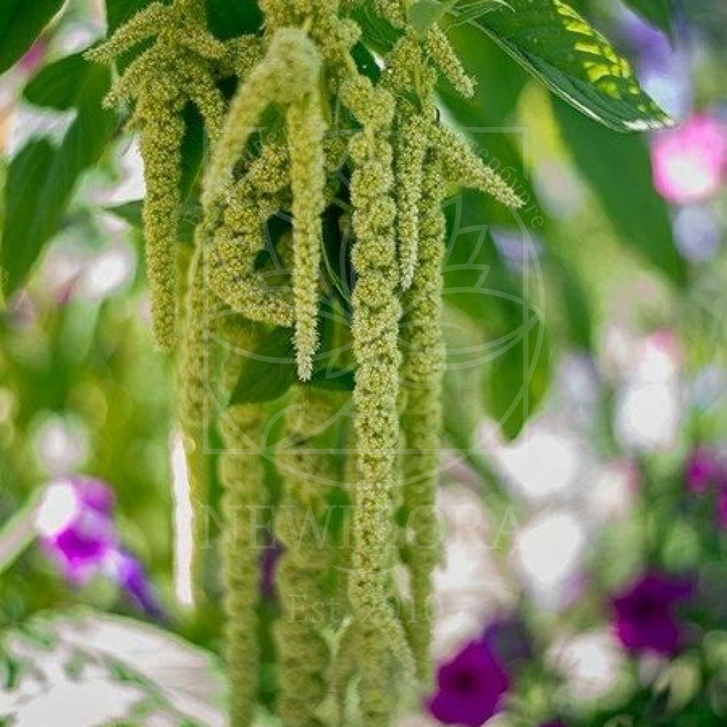 Амарант зеленый 70-80см (поштучно)