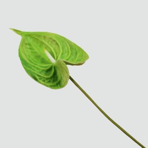 Антуриум зеленый 50-60см (поштучно)