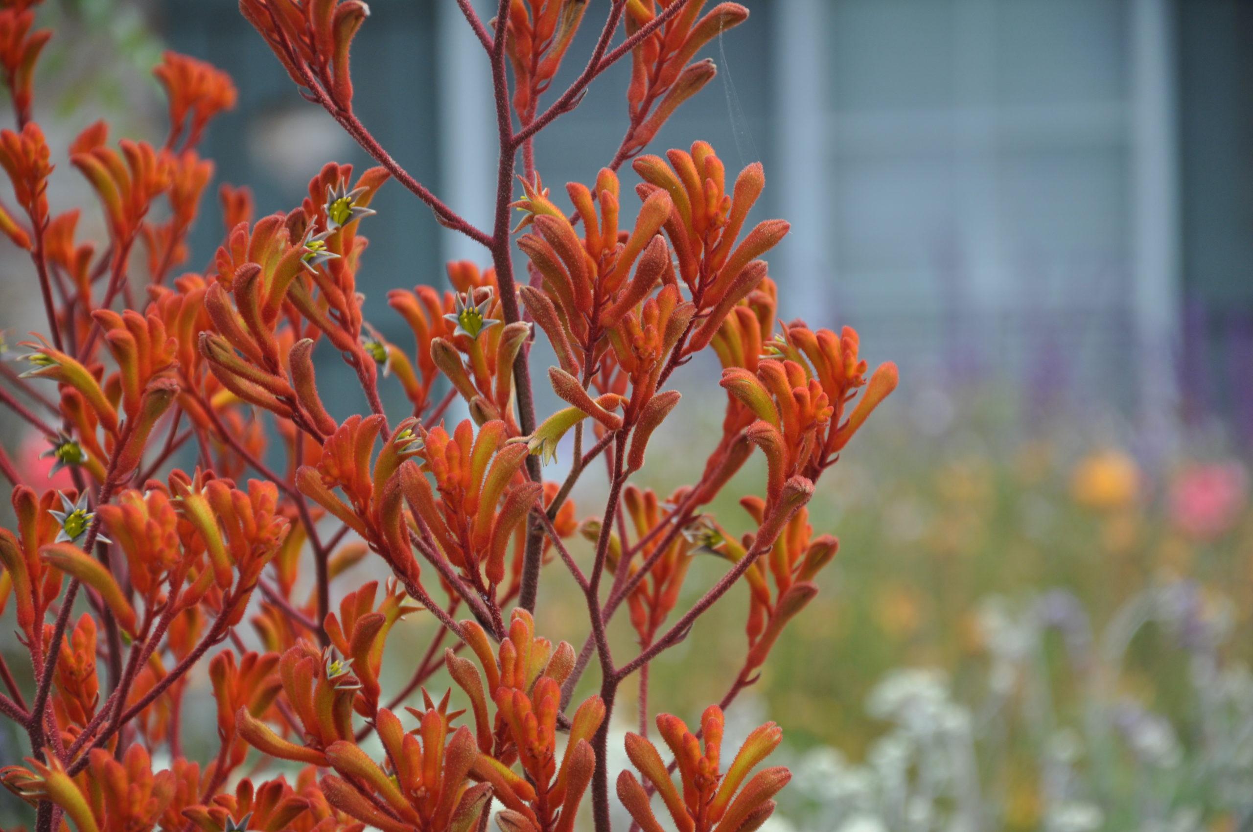 Анигозантос рыжий 60-70см (поштучно)