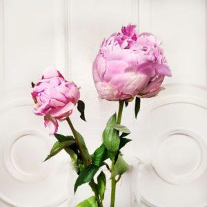 Большие отборные розовые пионы (поштучно)