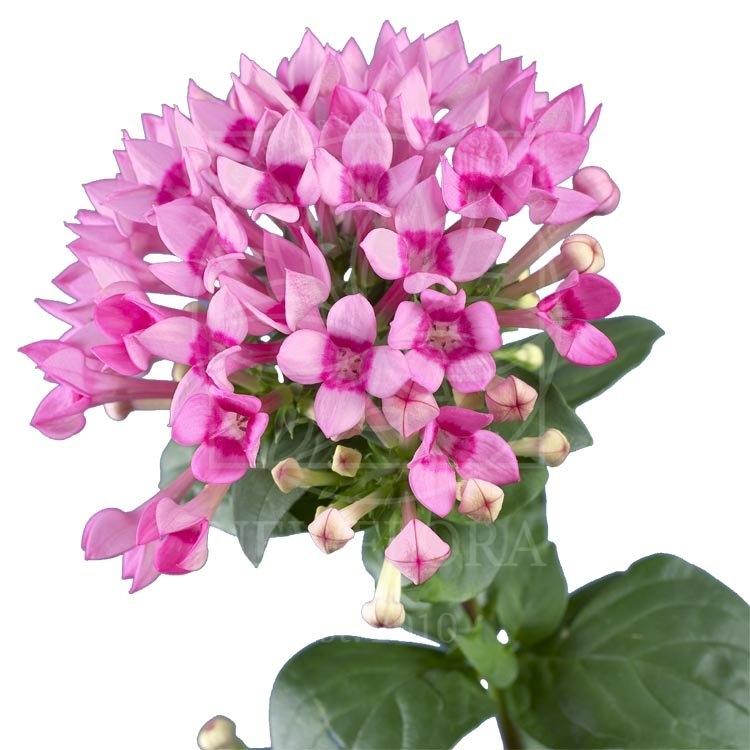 Бувардия розовая 60-70см (поштучно)