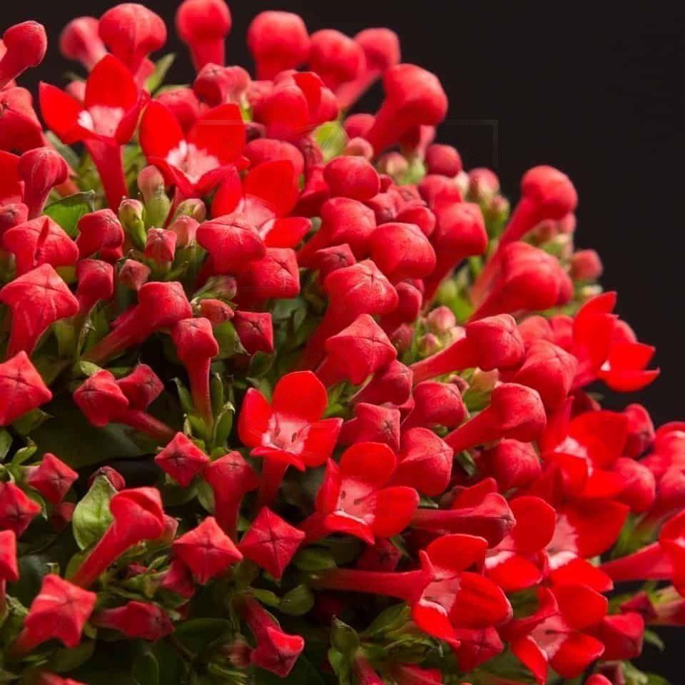 Бувардия красная 60-70см (поштучно)