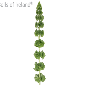 Букет 7 веток молюцеллы (90см)