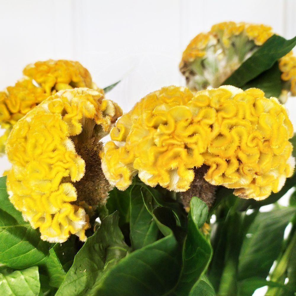 Букет 9 желтых целозий (70-75см)