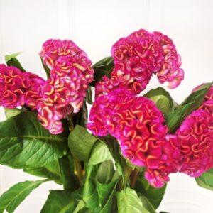 Букет 9 розовых целозий