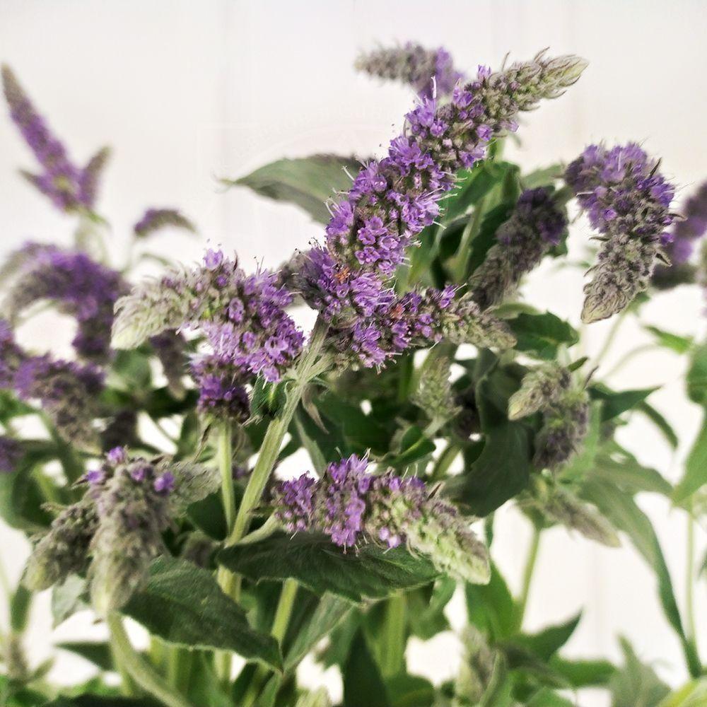 Букет 9 цветков мяты «silver queen»