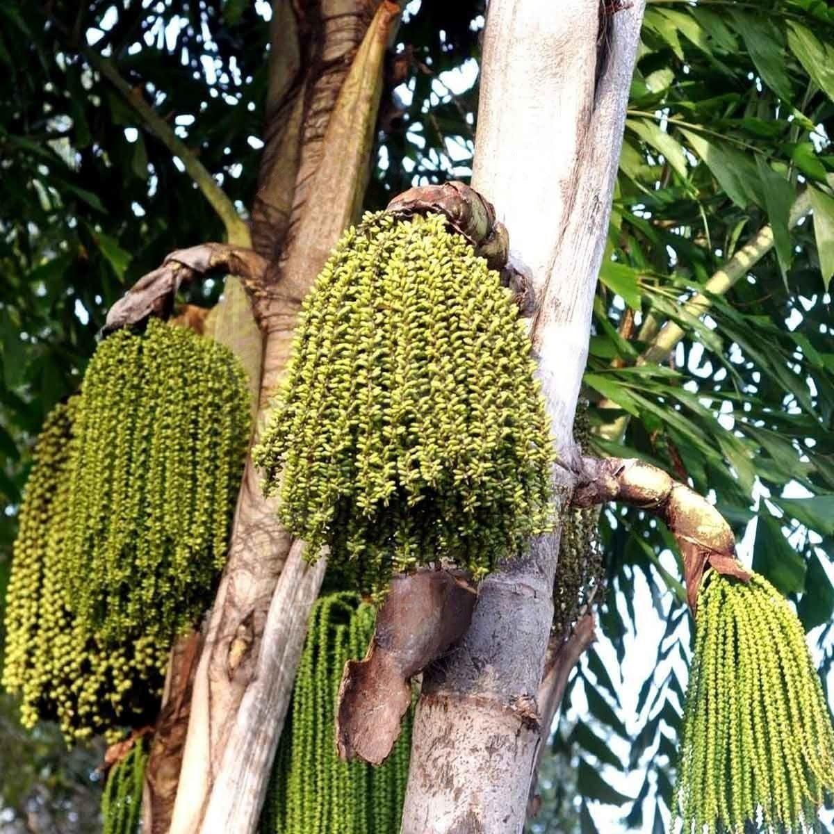 Кариота винная пальма маленькая «caryota urens» (сухоцвет)