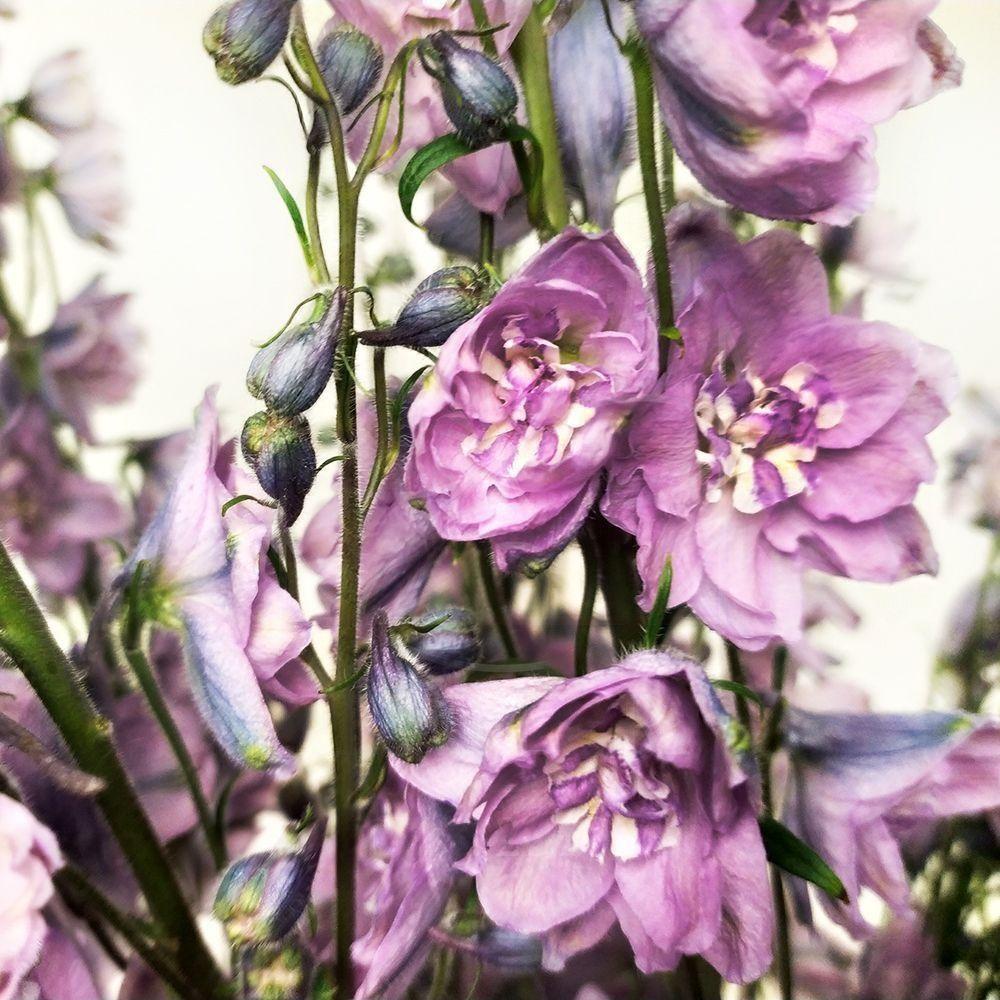 Дельфиниум фиолетовый 110см (поштучно)