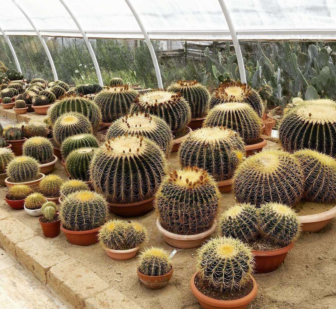 Кактус «grusonii» огромный (диаметр 1 метр)