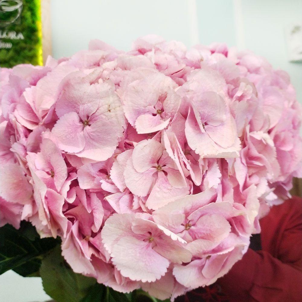Гортензия розовая «Mammoet» H80см D25см (поштучно)