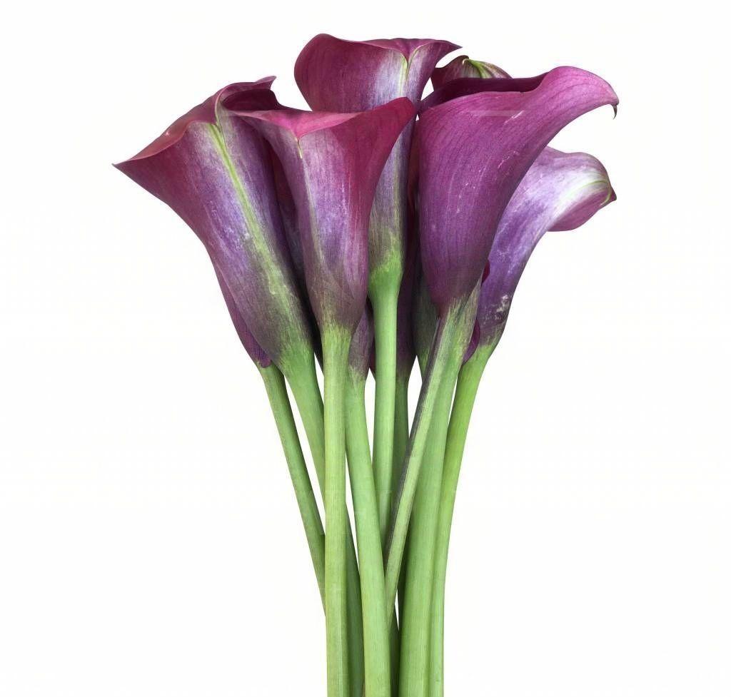 Каллы фиолетовые 70см (поштучно)
