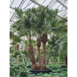 Ливинстона китайская 3 ствола «livistona chinensis» (высота 5,5 метров)