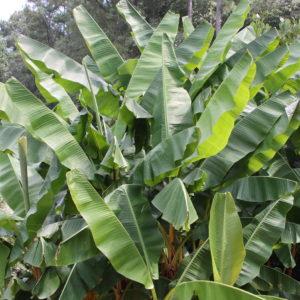Листья бананового дерева (90-100см)