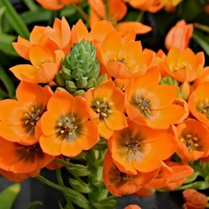 Орнитогалум оранжевый «dubium» (поштучно)