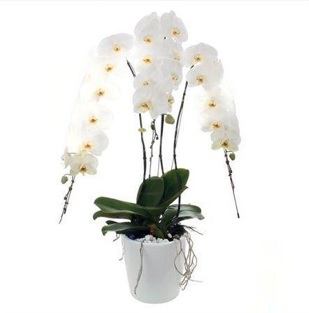 Орхидея фаленопсис «formidable» три стебля (высота 100см)