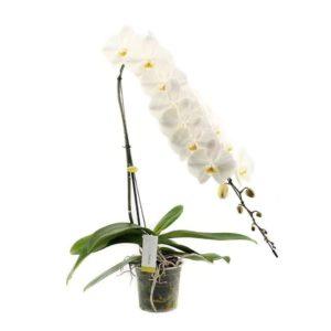 Орхидея фаленопсис «formidable» гигантская (высота 100см)