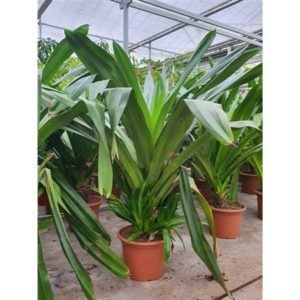 Пальма панданус «heterophylla» (высота 2 метра)