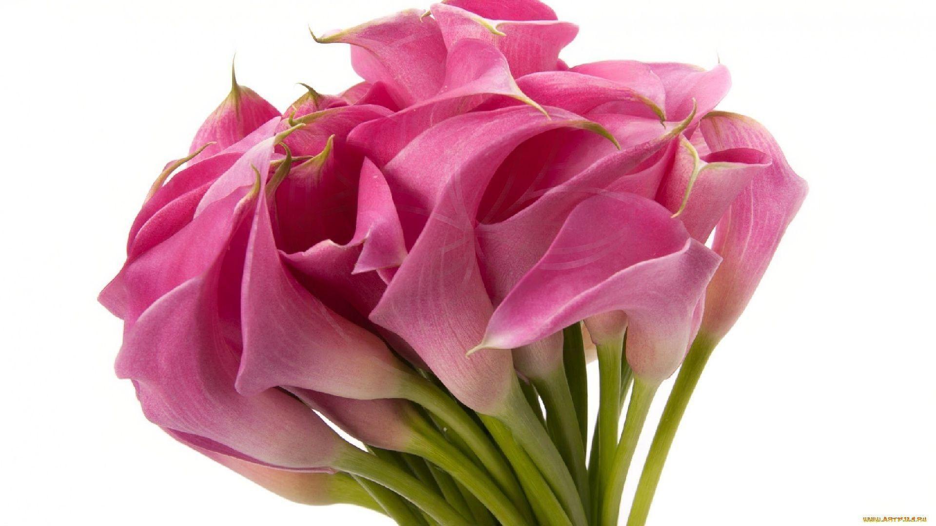 Розовые каллы 70см (поштучно)