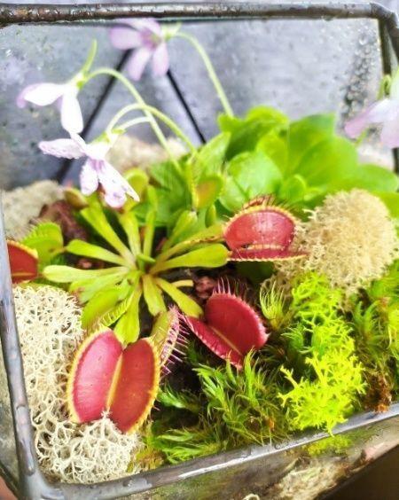 Цветы хищники во флорариуме #3