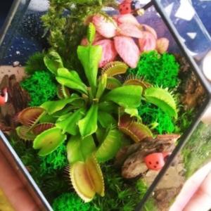 Цветы хищники во флорариуме #2