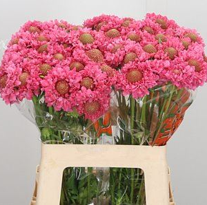 Скабиоза розовая «Candy pink scoop» (поштучно)