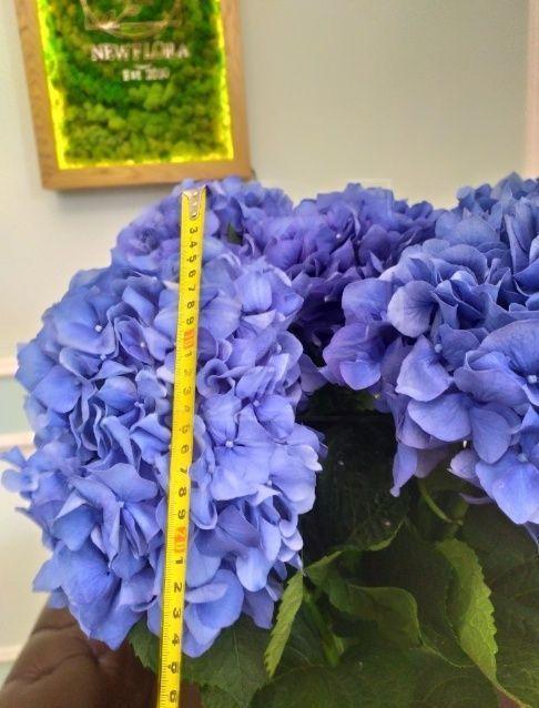 Гортензия синяя «Pimpernel» H80см D25см (поштучно)