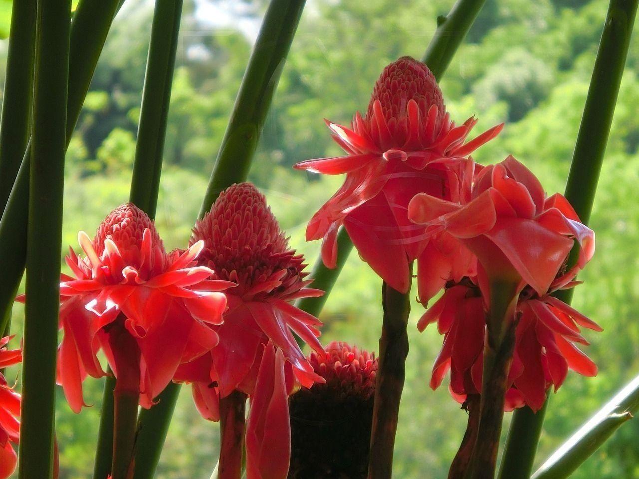 Этлингера красная «torch ginger» (тюльпан тропический)