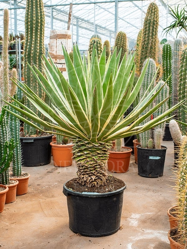 Агава узколистная «angustifolia» (высота 115см)