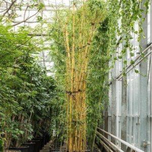 Бамбук «вульгарис» многоствольный (высота 6 метров)