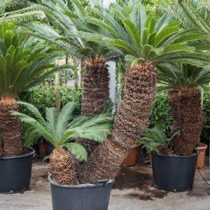 Пальма цикас «revoluta» многоствольная (высота 260см)