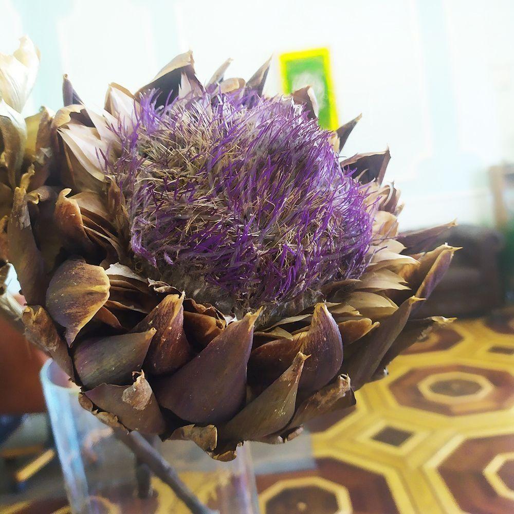 Артишок «scolymus bloeiend» (сухоцвет)