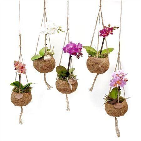 Кокедама с орхидеями фаленопсис (летающие растения)
