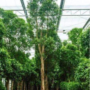 Фикус «нитида» штамбовый (высота 8 метров)