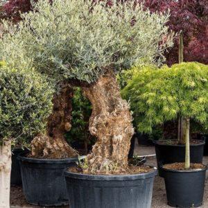 Оливковое дерево «европейское» (высота 2 метра)